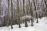 Winter scene in beech forest