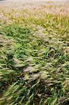 the Wheaten field  of the meadow.