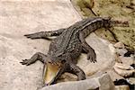 big crocodile Thailand