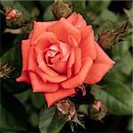 beautiful pink rose, outdoot, nature