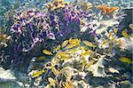 coral caribbean reef Mayan Riviera Grunt fish yellow blue stripes