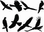 goshawk silhouette collection - vector
