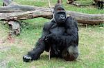 Gorilla male showing power in zoo