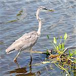 Great Blue Heron (Ardea herodias) wades through the wetlands of Everglades National Park of Florida.