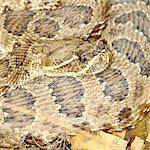 Prairie Rattlesnake (Crotalus viridis) in Badlands National Park of South Dakota.