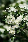 Apple Blossom. Spring garden