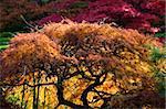 Japanese Maples Red Leaves Van Dusen Gardens Vancouver, British Columbia, Canada