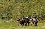 Man rounding up saddled horses