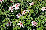 White hibiscus tree - natural flower texture