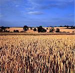 Field of Wheat Warwickshire Midlands England