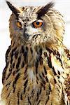 Portrait of wise owl.
