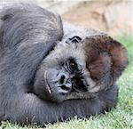 Male of gorilla in bioparc in Valencia, Spain