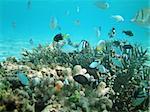 Tropical fish kingdom - coral reef in the maldivian sea