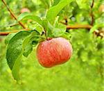 Rain drops on ripe apple