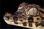 cayman reptile eye detail crocodile