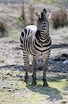 Beautiful african Zebra outdoor striped skin horse