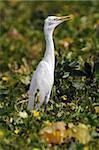 An intermediate egret standing tall in a cucumber field