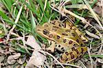 Northern Leopard Frog (Rana pipiens) in northern Illinois.