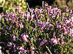 flowering erica plant in a heather field, Calluna vulgaris, with bee
