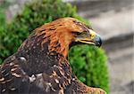 eagle, bird is looking for food,sharp beak, beautiful feathers