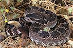 Southern Pacific Rattlesnake (Crotalus viridis helleri) assuming a defensive posture.
