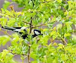 Great Tit male in Hawthorn