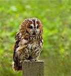 Tawny Owl full length facing at angle