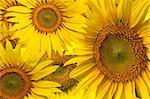Beautiful yellow Sunflower background closeup