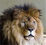 Lion head close up