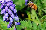 bumblebee flies to bloom in the spring