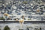 Pérou, canyon du Colca, vigognes