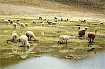 Pérou, canyon du Colca, troupeau de vigognes