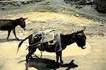 Pérou, canyon du Colca, âne