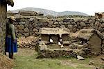 Cobayes au Pérou, Sillustani, agriculture