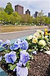 Petunia flowers at the Frog Pond in Boston Common, Boston, Massachusetts, USA