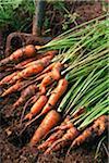 Frisch gegraben Karotten mit Garten Gabel.