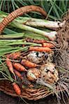 Korb mit frisch geernteten Garten Gemüse.