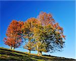 Beech Trees, Schauinsland, Black Forest, Baden-Wurttemberg, Germany