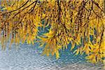 Mélèze, lac de Silvaplana, Silvaplana, Engadin, Canton des Grisons, Suisse