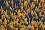 Forêt de mélèzes Tree, Livigno, Province de Sondrio, Lombardie, Italie