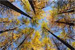 Mélèze arbres, lac de Sils, Engadin, Canton des Grisons, Suisse