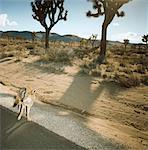 Kojote nahe Straße