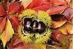 Süße Kastanien Hülse auf Herbst Blätter, close-up