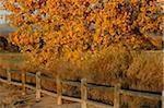Einen schönen Pappel Baum mit den Farben des Herbstes in Bosque del Apache National Wildlife Refuge, New Mexico, USA. November 2007.