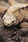 Close-up of marine iguana climbing on rock