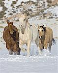 Quarter Horses en cours d'exécution dans la neige