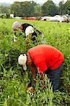 Deux hommes, cueillette des tomates