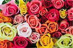 Variété de roses colorées, studio shot