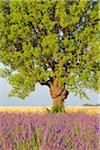 Gros plan des arbres dans les champs de lavande, Plateau de Valensole, Alpes-de-Haute-Provence Alpes-de-Haute-province-Alpes-Cote d Azur, Provence, France