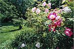 Rose plant, close-up